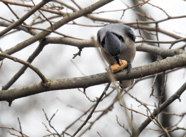 Blue Jay Eating Peanut