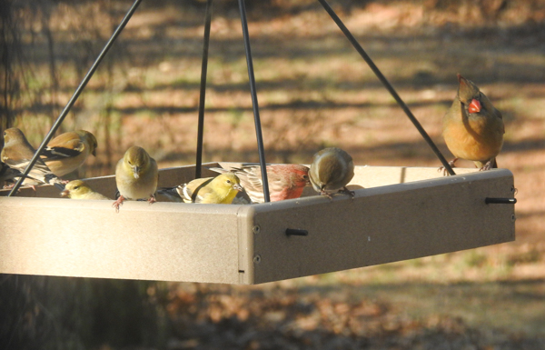 Goldfinches, House Finches and Northern Cardinal Eating at a Hanging Platform Feeder