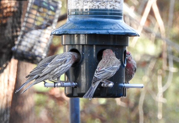 House Finches at Squirrel Buster Plus Feeder