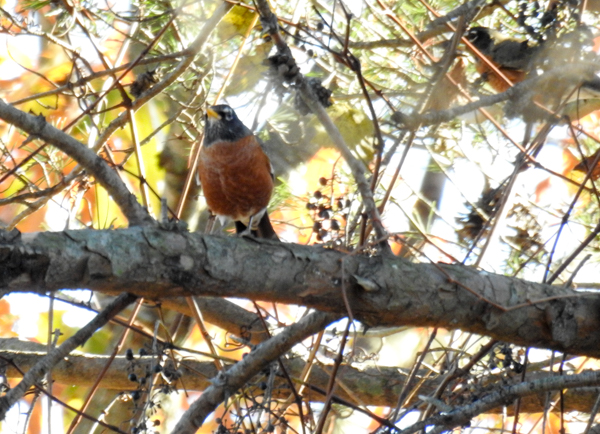 American Robins Eating Wild Grapes