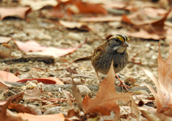 White-Throated Sparrow on the Ground