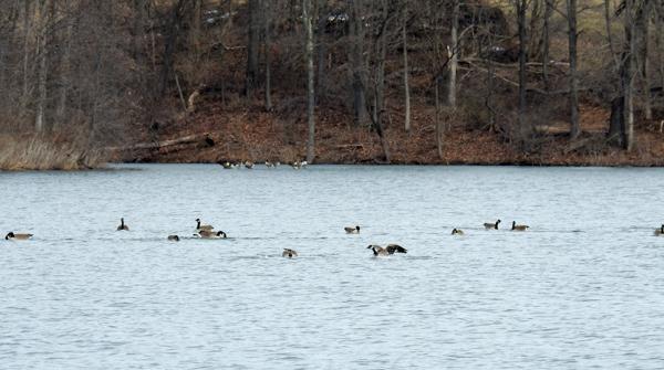 Canada Geese on Little Seneca Lake