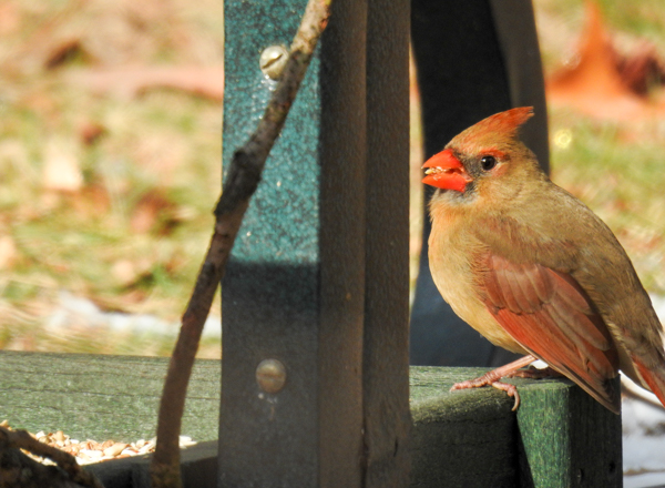 Male Northern Cardinal Eating Safflower Seed
