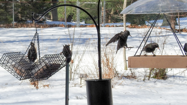 European Starlings Arrive at the Feeders