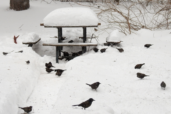 Mostly Red-Winged Blackbirds Taking Over the Feeder in the Snow