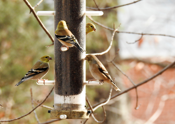 Goldfinches Eating Nyjer at an Aspects Nyjer Tube Feeder
