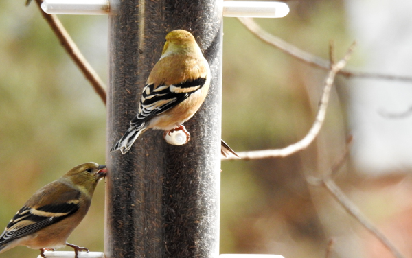 Goldfinch Eating Nyjer Through Tiny Slit
