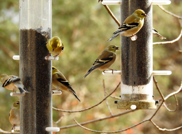 Goldfinches Eating Nyjer Seed