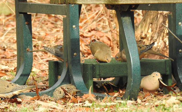 Mourning Doves in the Feeder Under the Picnic Table
