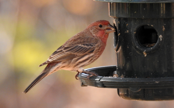 Male House Finch Eating Sunflower Hearts