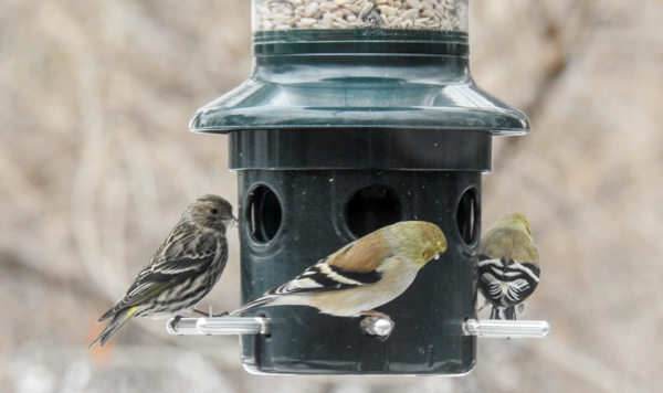 Pine Siskin & Goldfinches Eating Sunflower Hearts