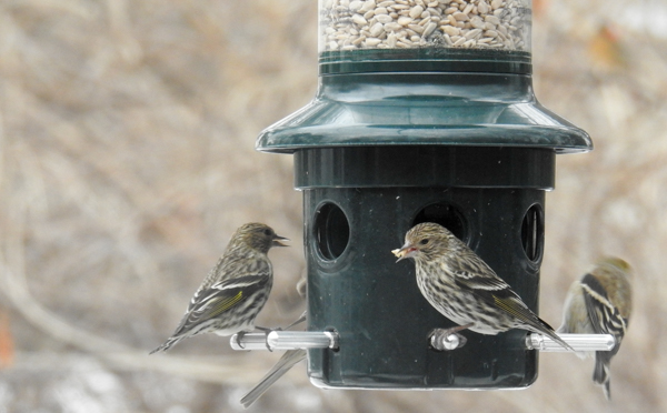 Pine Siskins Visit the Squirrel Buster Plus Bird Feeder