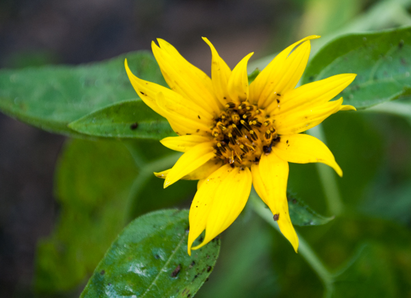 Self Sown Sunflower