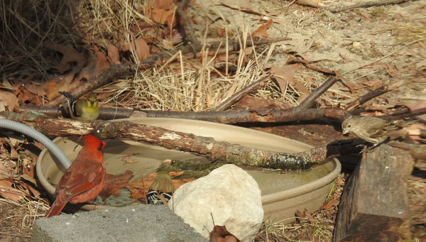 American Goldfinch, a Northern Cardinal and a House Finch Enjoy the Birdbath.
