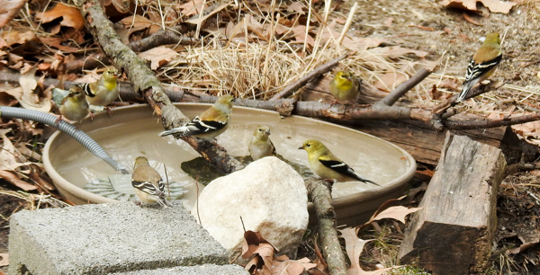 Goldfinches Enjoying the Birdbath