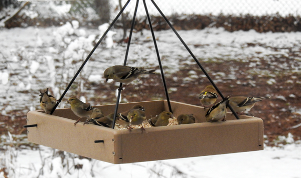 Goldfinches in Same Hanging Feeder