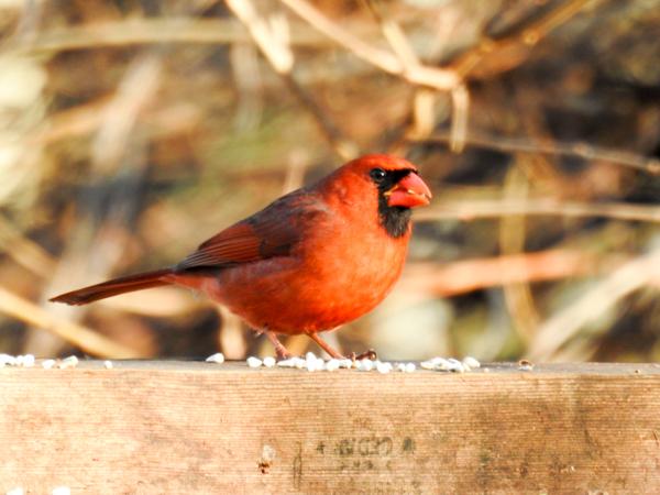 Male Cardinal in the Yard