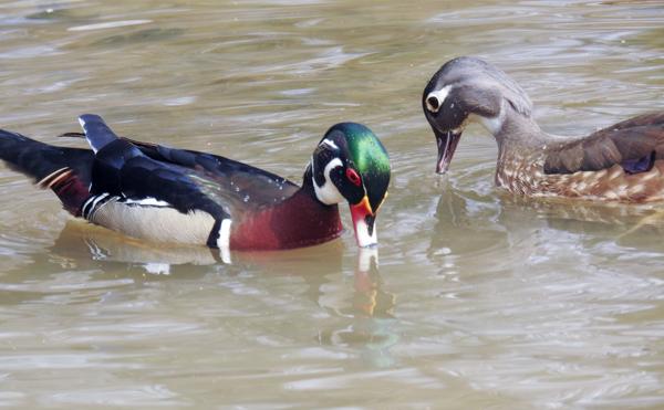 Pair of Wood Ducks at Buddy Attick Lake Park