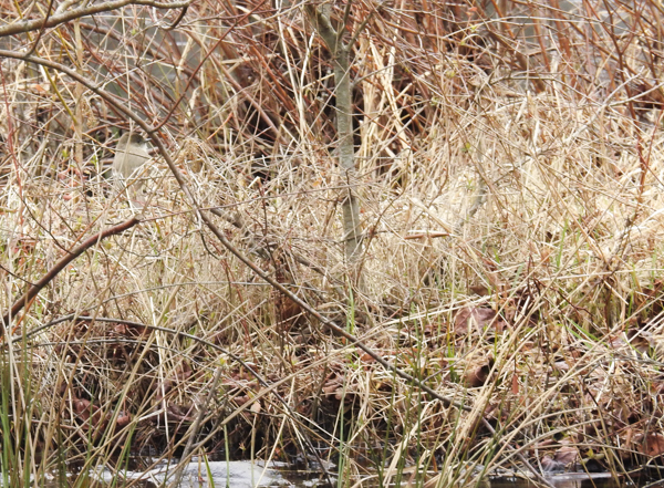 Can You See the Eastern Phoebe Hidden Among the Reeds & Grasses?
