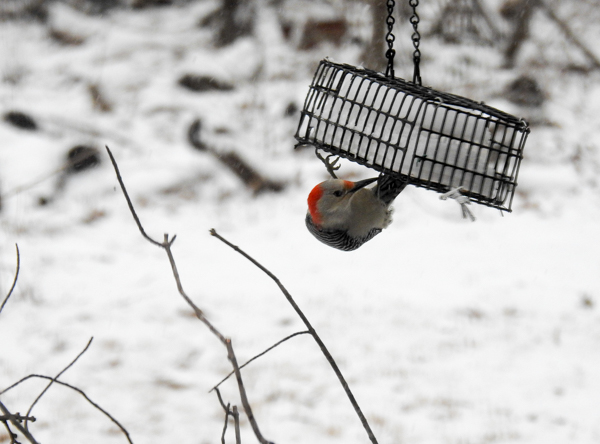 Female Red-Bellied Woodpecker Eating Suet From Dangling Cage