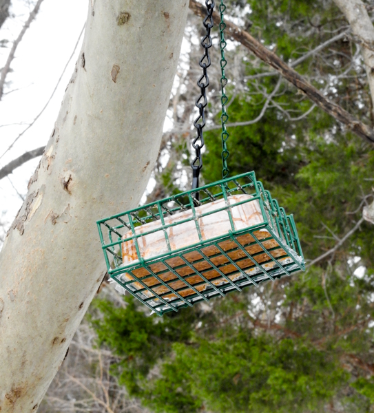 Suet Feeder Hanging on Branch Near a Busy Bird Feeder