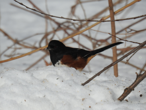 Male Eastern Towhee Original Shot Uncorrected