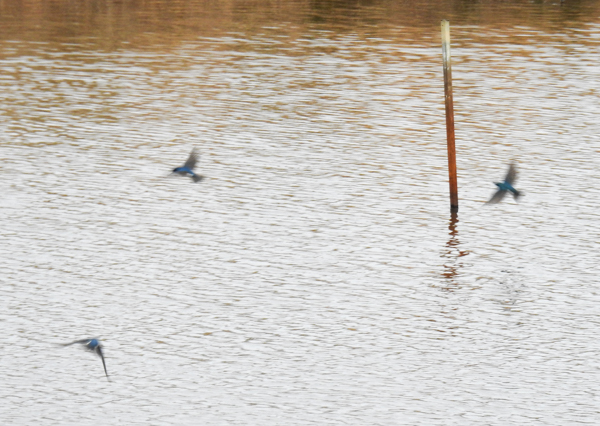 Tree Swallows Were Faster Than a Blur at Patuxent Research Refuge