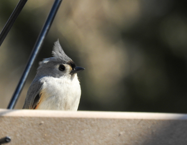 Tufted Titmouse in Feeder