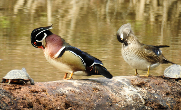 Wood Duck Pair Preening (Buddy Attick Park, Greenbelt MD)