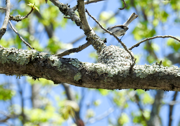 Blue-Grey Gnatcatcher Building a Nest