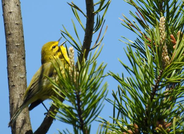 Prairie Warbler Near Merganser Pond