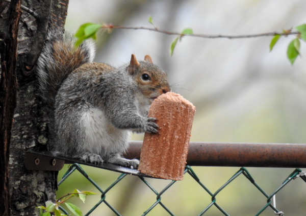 The Nut Flavored Squirrelog on Erva's Feeder