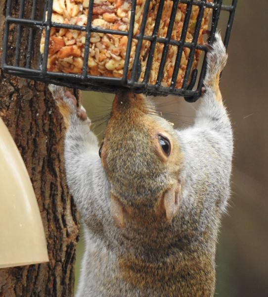 Squirrel Eating a Nut Block Against Tree Trunk