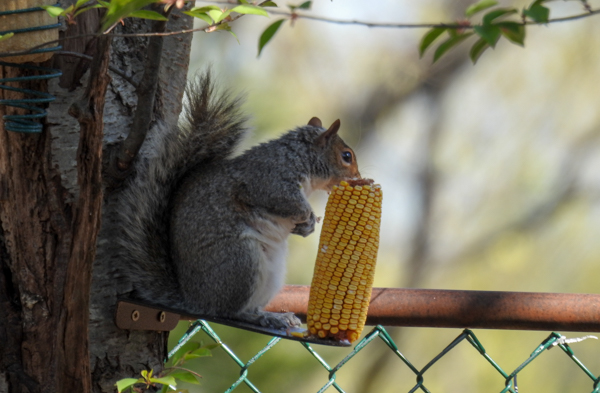 Squirrel Eating a Corn Cob on the Erva Feeder