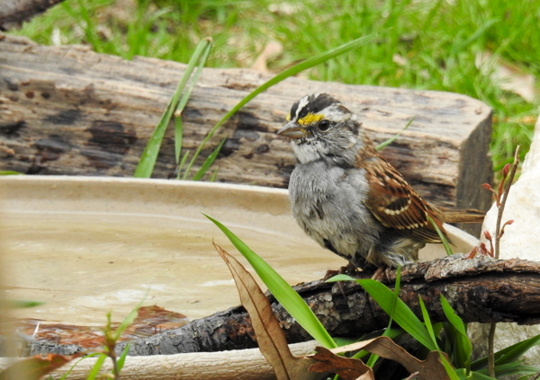 White-Throated Sparrow at the Birdbath
