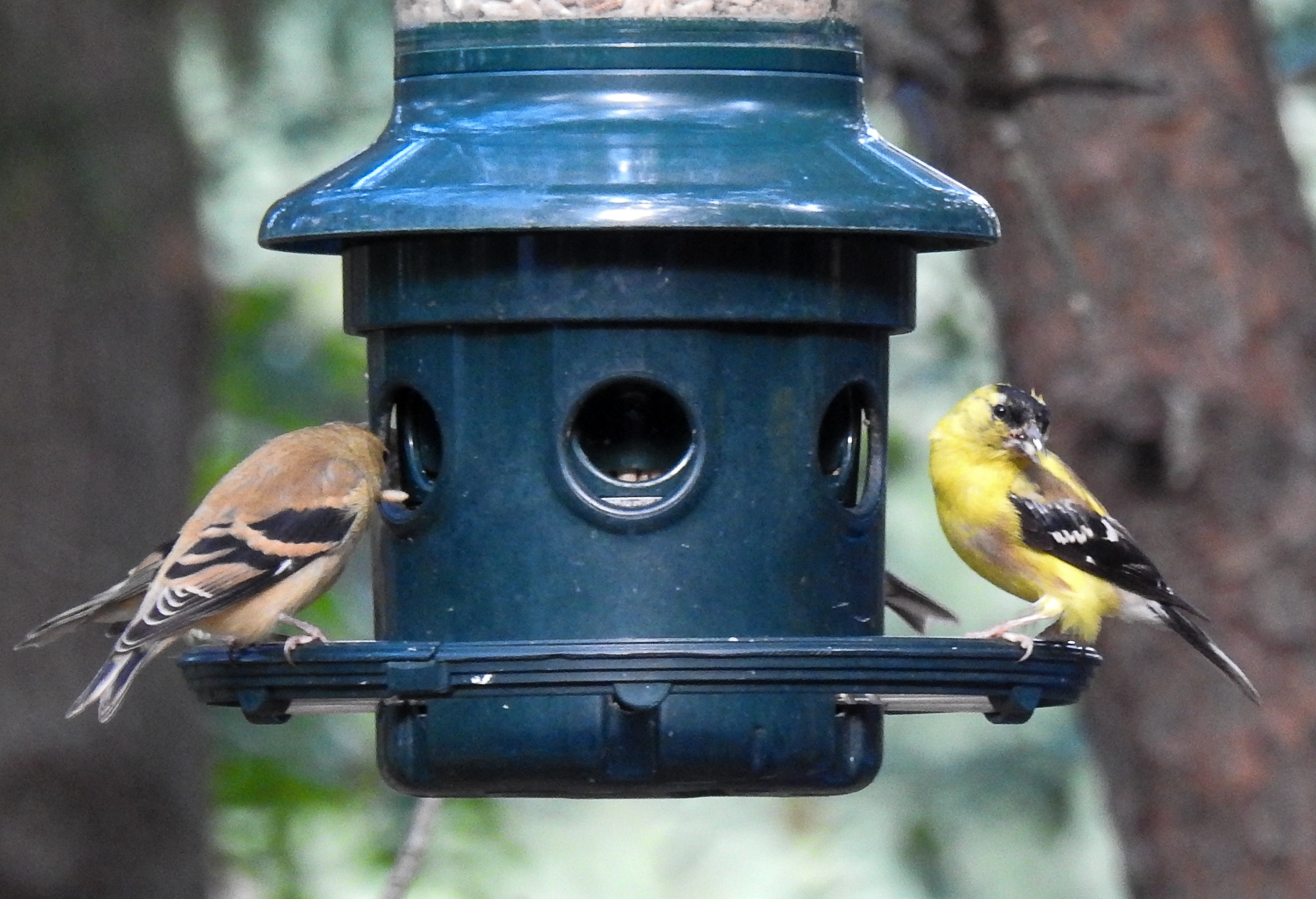 The Male American Goldfinch on the Right is Still Transitioning into Winter Feathers