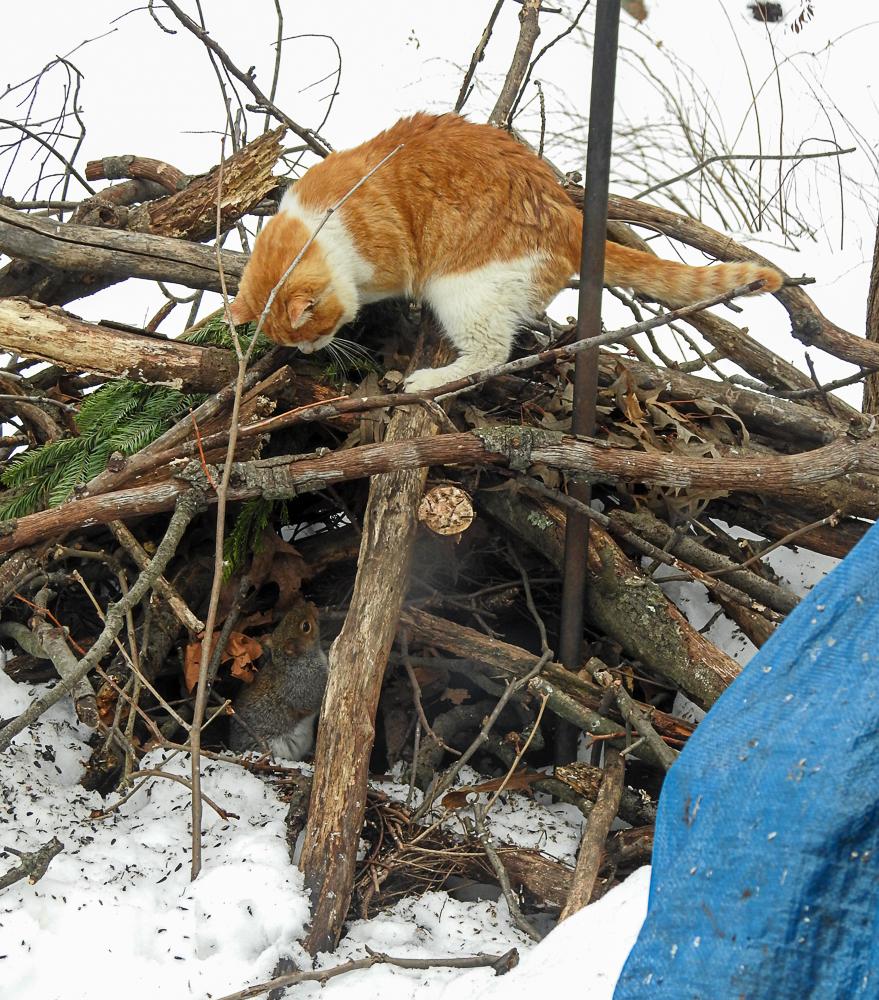 """""""Orange"""" cat stalking a squirrel in the brush pile."""