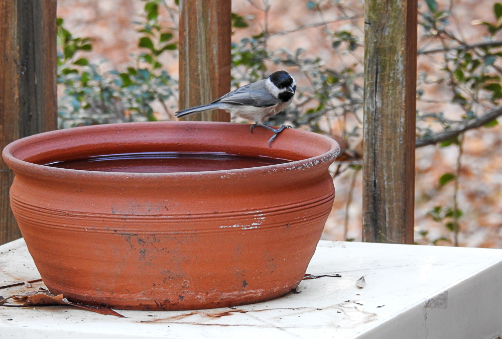 A Carolina Chickadee Gets a Drink from The Terracotta Birdbath in the Fall