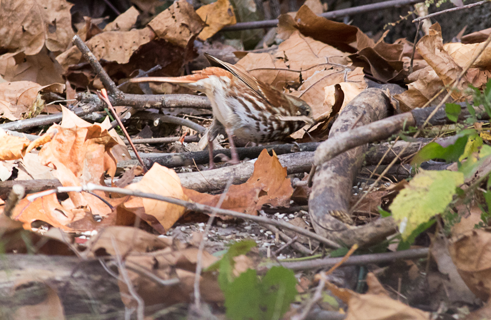 Fox Sparrow Scratching in the Leaf Litter