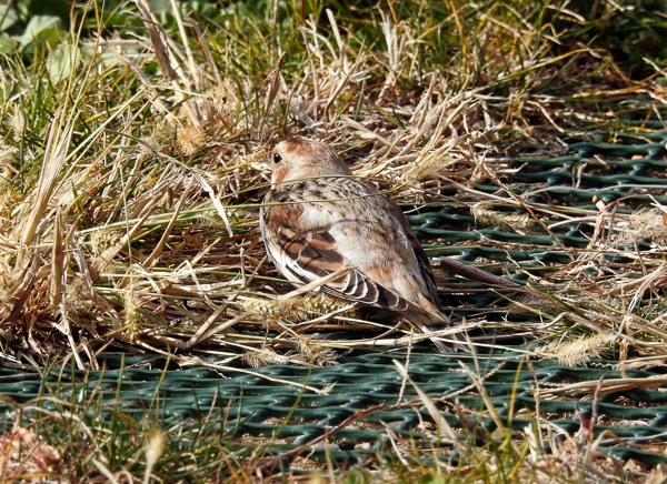 The Snow Buntings Blended in With the Grass