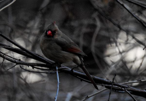 Northern Cardinal Before Sunrise