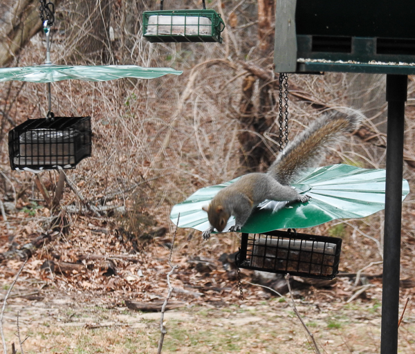 A Frustrated Squirrel Can't Get Past the Baffle