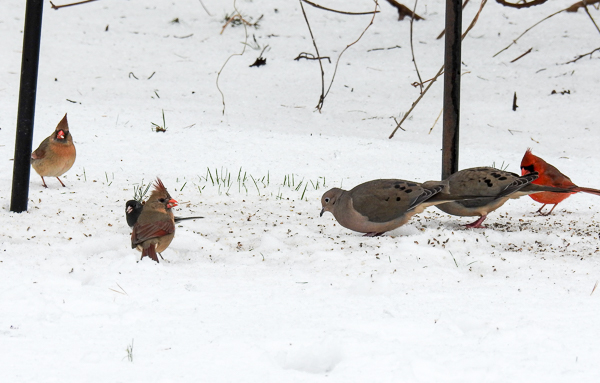 Mourning Doves, Northern Cardinals and a Dark-Eyed Junco