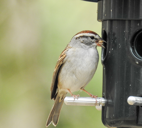 Chipping Sparrow Eating Sunflower Hearts