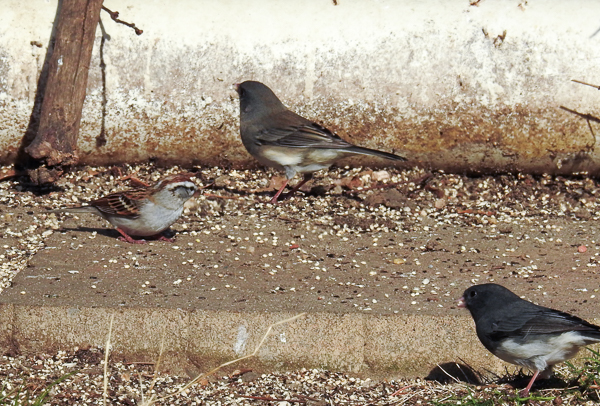 A Chipping Sparrow and Two Dark-Eyed Juncos