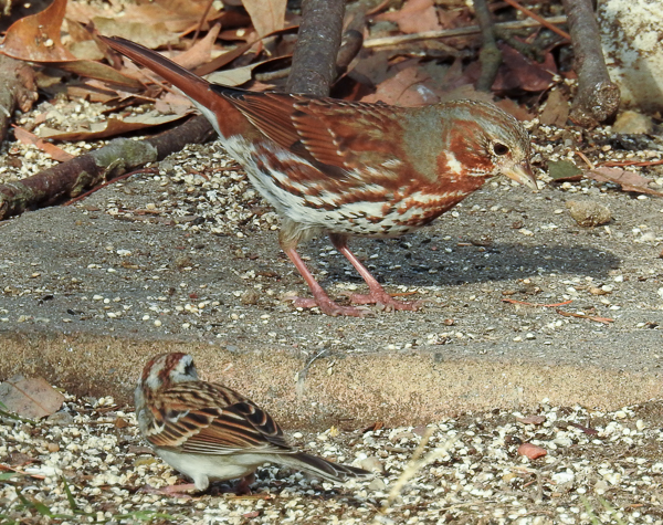 A Fox Sparrow and a Chipping Sparrow