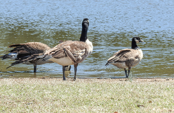 Two Canada Goose and a Cackling Goose