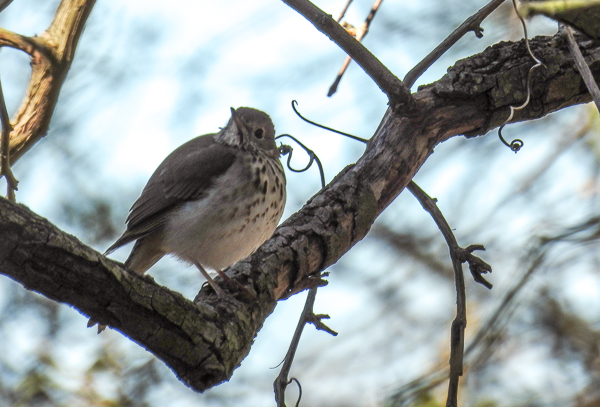 A Hermit Thrush in the Bushes