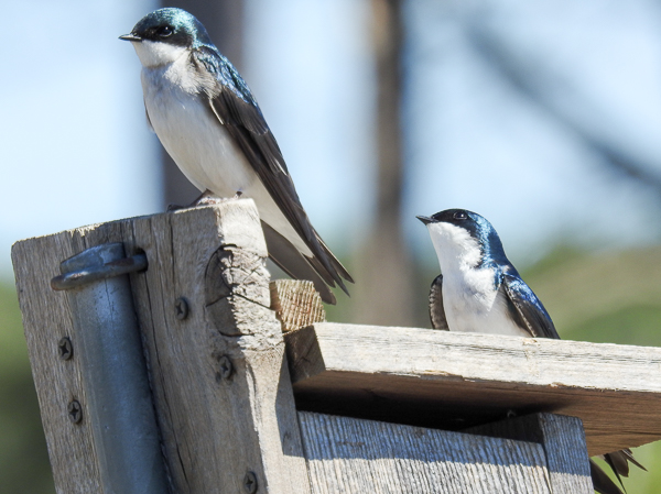 Tree Swallows on a Nest Box