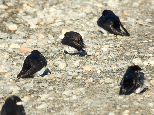 Tree Swallows on the Road